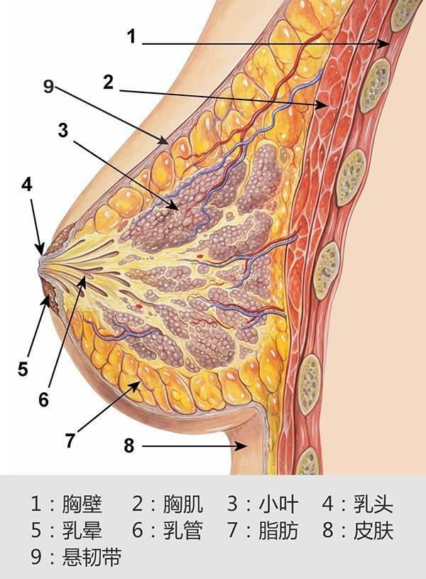 运动过程如果不穿运动内衣,只有乳腺组织和乳房悬韧带进行支撑,很容易